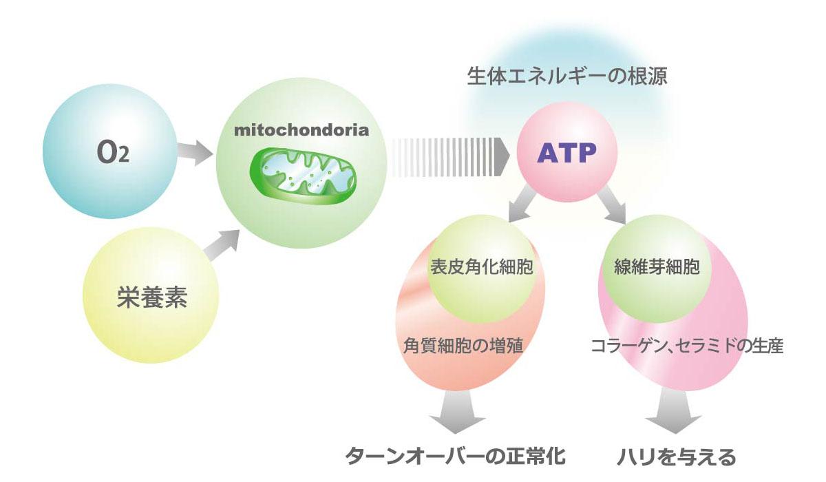 ATPによる細胞活性